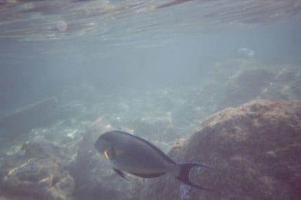 Arabischer Doktorfisch - Schnorcheln Hausriff Bel Air Beach /Arabia Hurghada