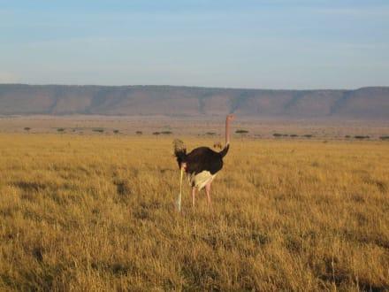 Strauß - Masai Mara Safari