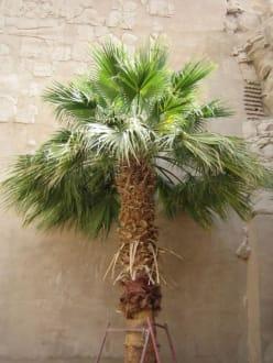 Eine Palme im Karnak Tempel - Amonstempel Karnak