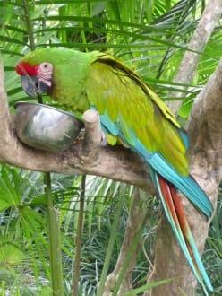 'Empfangs'-Papagei im Bird Park - Bali Bird Park