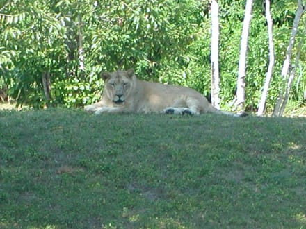 Löwe - Zoo Miami