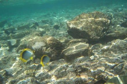 Gelbsaumfalterfisch - Schnorcheln Sharm el Sheikh