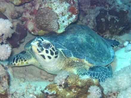 Schildkröte beim Mittagsschläfchen - Tauchen Marsa Alam