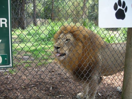Meet the Keeper -Lion - Naples Zoo