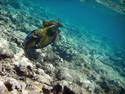 Riesendrücker - Schnorcheln Sharm el Sheikh