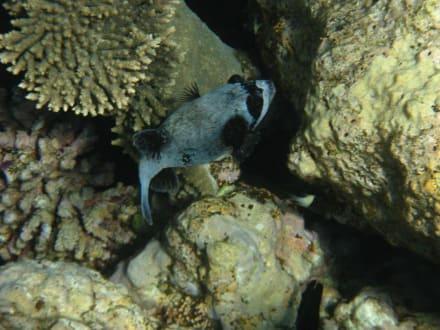 Masken Kugelfisch - Sharm El Naga