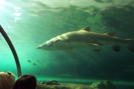 Haie, immer wieder atemberaubend - Sydney Aquarium