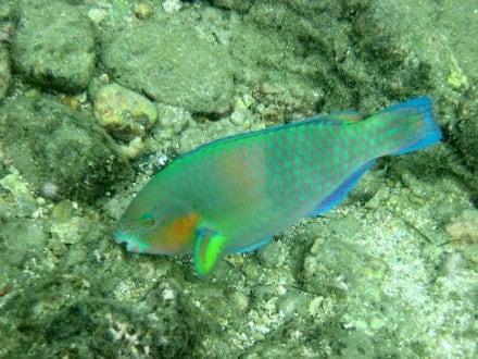 Papageienfisch - Schnorchel-Bootstour Kon Tiki Koh Chang