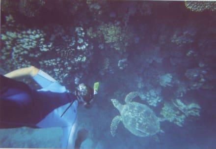 Taucher mit Schildkröte - Tauchen Berenice