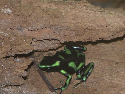 Frosch, Nationalpark Carara - Nationalpark Carara