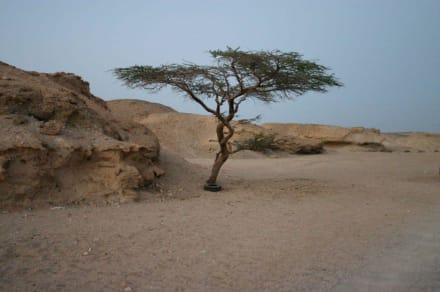 Akazienbaum - Wüstentour Marsa Alam