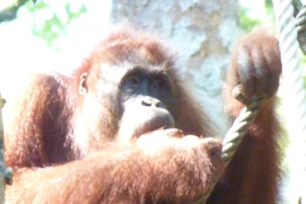 Semenggoh Orang-Utan-Center - Semenggoh Orang Utan Rehabilitations Center