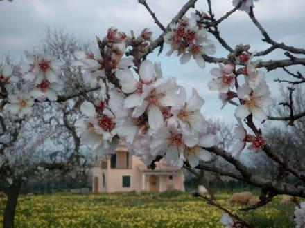 Mandelblüte - Mandelblüte