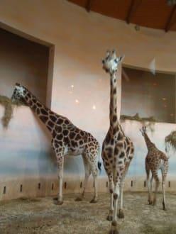Giraffen - Zoologischer Garten Prag