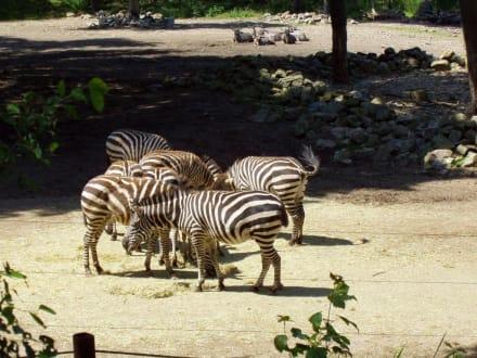 Steppe - Burgers' Zoo