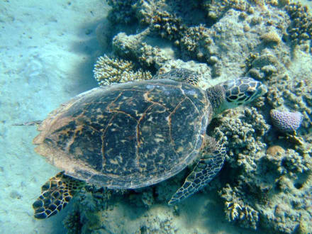 Schildkröte - Schnorcheln Brayka Bay Marsa Alam