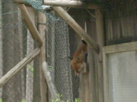 Fuchs schläft - Wildpark Poing