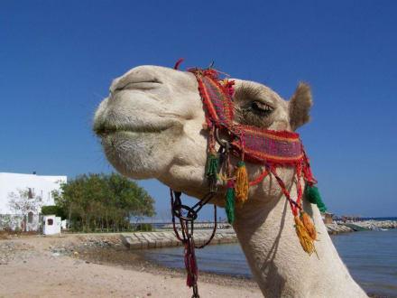 Dromedar am Strand - Schnorcheln Hurghada