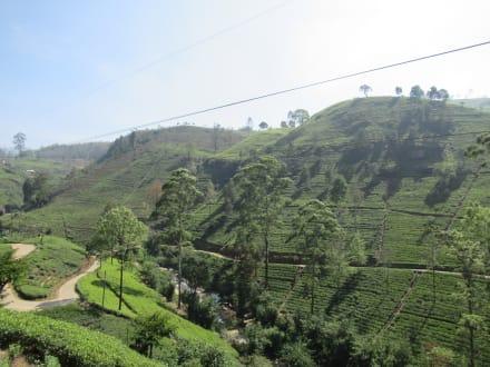 Teeplantagen um Nuwara Eliya - Teeplantagen