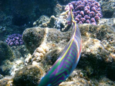 Die Fische sind fast zahm am Riff - Tauchen Samaya Hausriff Marsa Alam