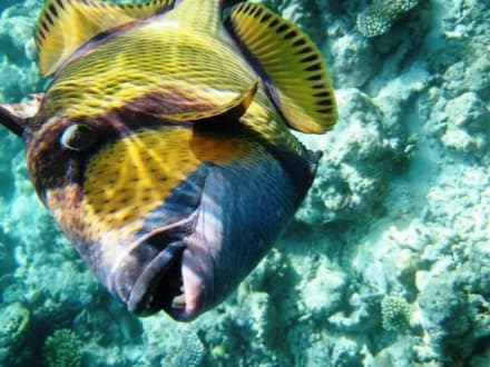 Der Drücker war sehr nahe! - Schnorcheln Süd-Malé-Atoll
