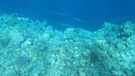 Flötenfische - Tauchen Samaya Hausriff Marsa Alam