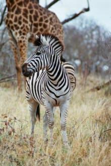 Zebra - Krüger Nationalpark