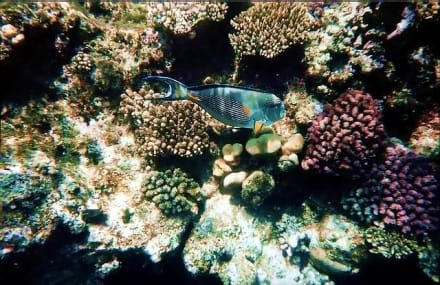 Sohaldoktor im Roten Meer - Tauchen Nabq Bay