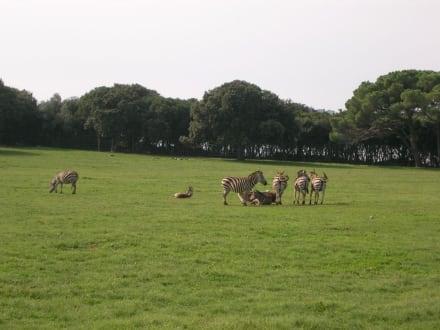 Zebras im Safaripark - Nationalpark Brijuni Inseln