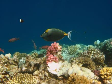 Sohaldoktor Fisch am Hausriff Hotel Carnelia Beach Resort - Tauchen Marsa Alam