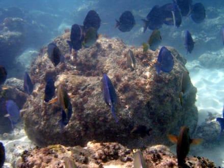 Doktorfische - Schnorcheln Bayahibe