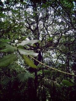 Nationalperk Cerro EL Copey  Bewaldung und Bewuchs - Nationalpark Cerro El Copey