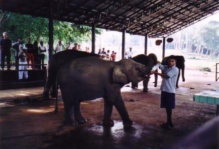 Waisenhaus - Elefantenwaisenhaus Pinnawela