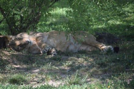 Asiatische Löwe - Zoologischer Garten Prag