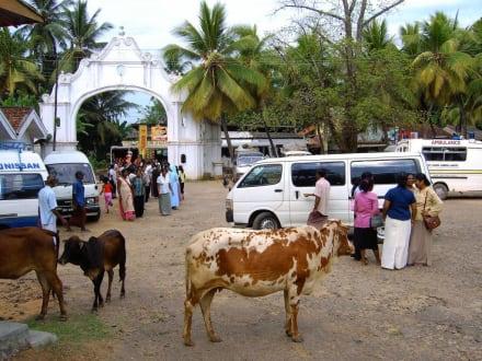 die heiligen Kühe sind überall - Wewurukannala Vihara Tempel