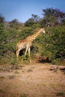 Etosha N.P. - Giraffe - Etosha Nationalpark