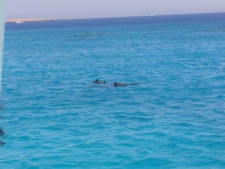 Delfine bei Schnorcheltour - Adventurer-Diving (geschlossen)