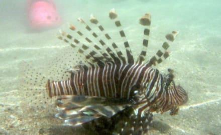Rotfeuerfisch am Strand - Schnorcheln Marsa Alam
