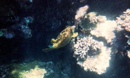 Fische - Schnorcheln Sharm el Sheikh