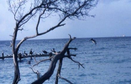 Die Kolonie der Grau-Pelikane - Graupelikan-Kolonie