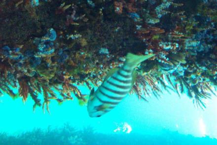 Blick in die Unterwasserwelt der Busselton Jetty - Busselton Jetty