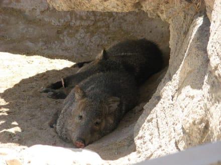 Halsbandpekari im Living Desert Zoo, NM - Living Desert Zoo and Gardens State Park