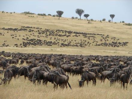 Migration - Masai Mara Safari