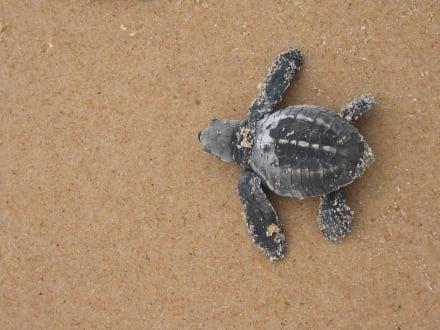 Meeresschildkröte - Meeresschildkröten Salvador da Bahia