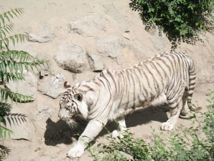 Tiger - Peking Zoo