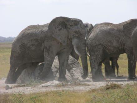 Elefanten - Kimana Reservat