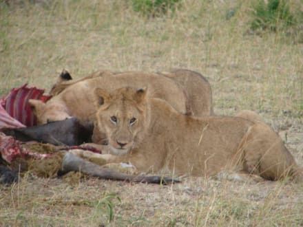 Löwenfamilie - Masai Mara Safari