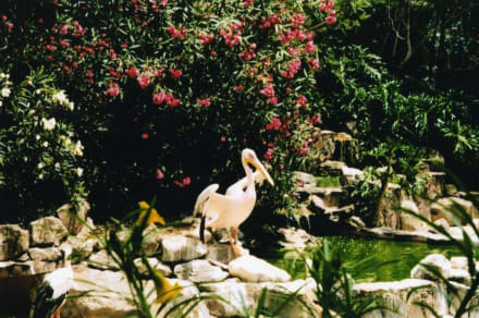 Palmitos Park - Pelikan - - Palmitos Park
