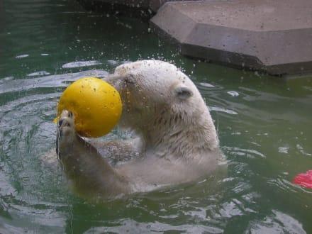 Ein Eisbär hat Spaß - Tierpark Hellabrunn