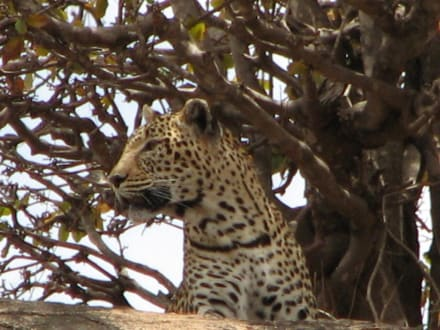 leopard - Tsavo West Nationalpark